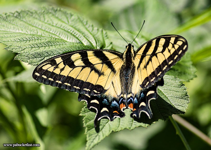 In the summer butterflies are plentiful along the Great Allegheny Passage as it winds through Somerset County, PA.