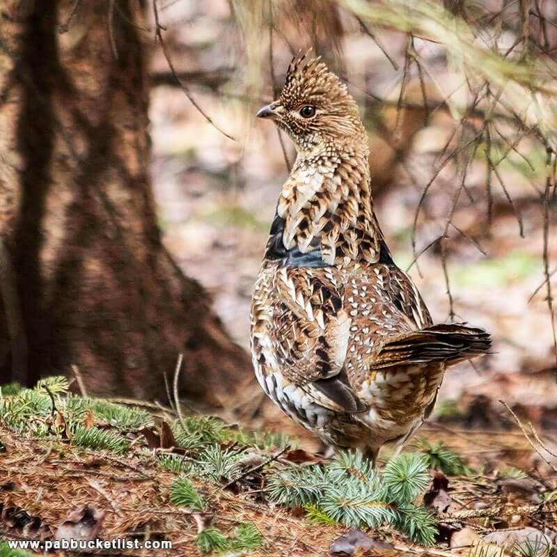 A ruffed grouse (the Pennsylvania state bird) I encountered on a trip to Round Island Run Falls.