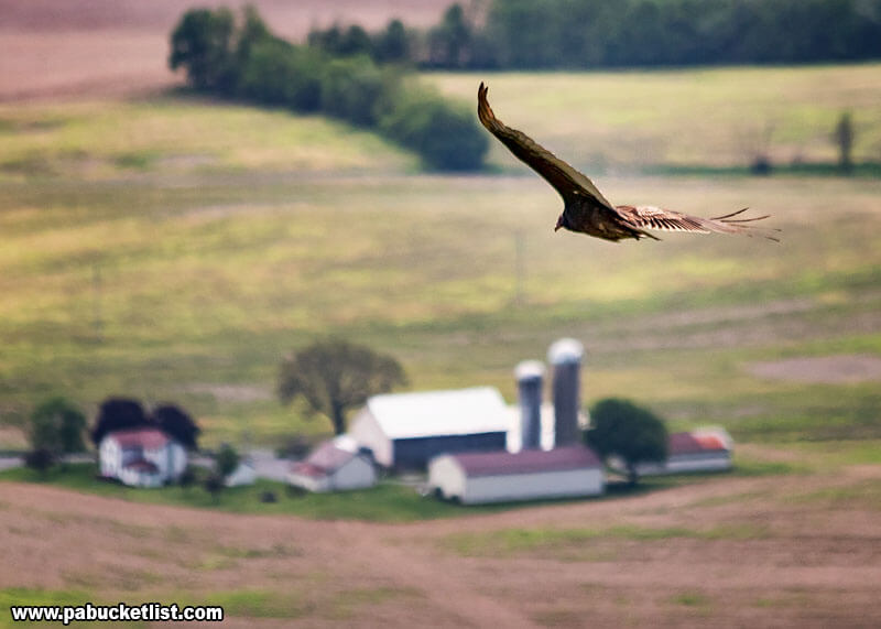 A buzzard flying high over the Cumberland Valley, with a farm in the distance.