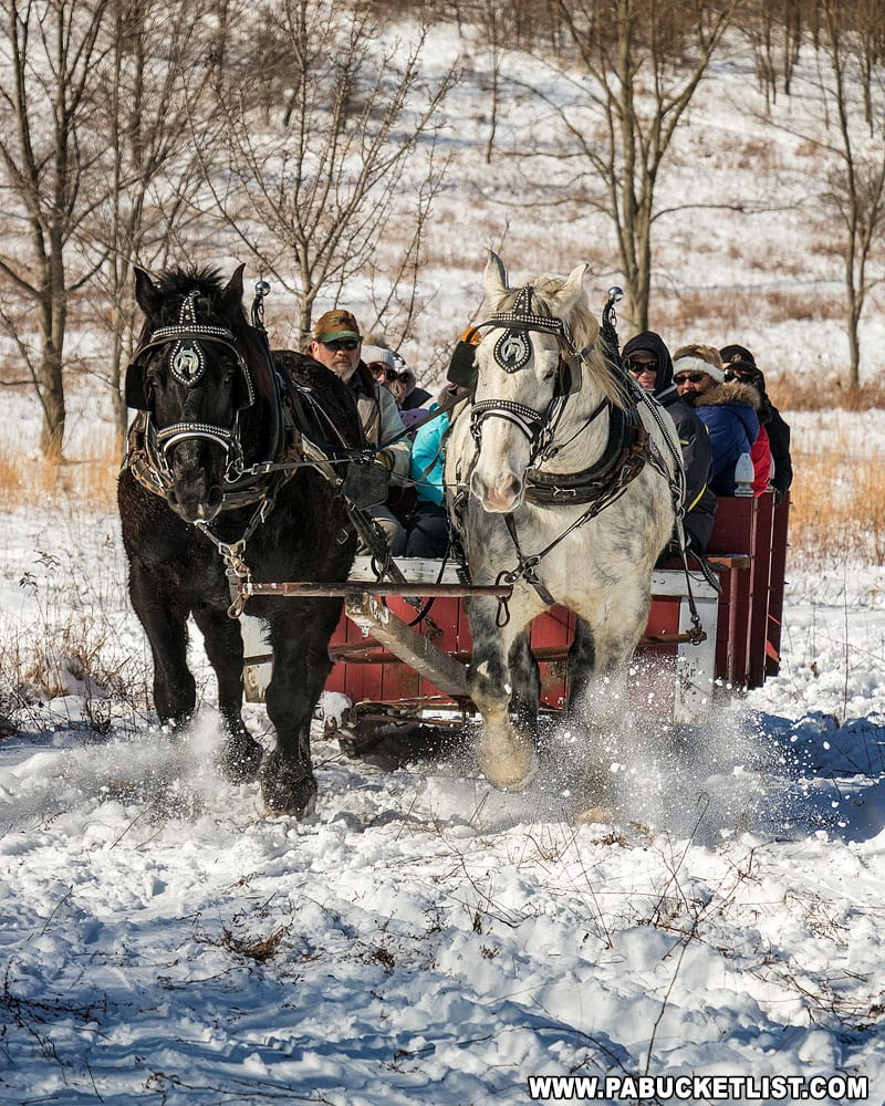 Percherons pulling a sleigh at WInterfest at Ohiopyle State Park.