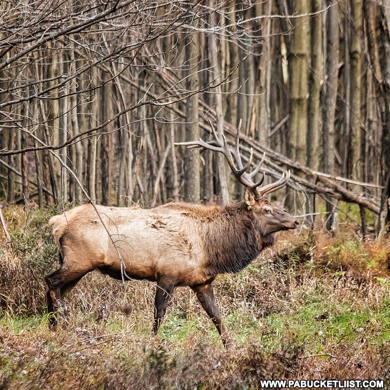 Bull elk near the nuclear jet engine bunkers in the Quehanna Wild Area.