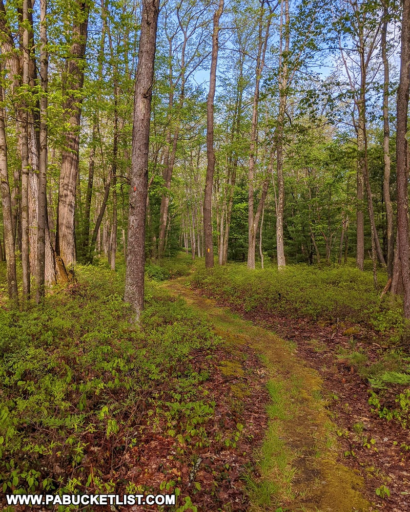 Moss-covered Kunes Camp Trail in the Quehanna Wild Area