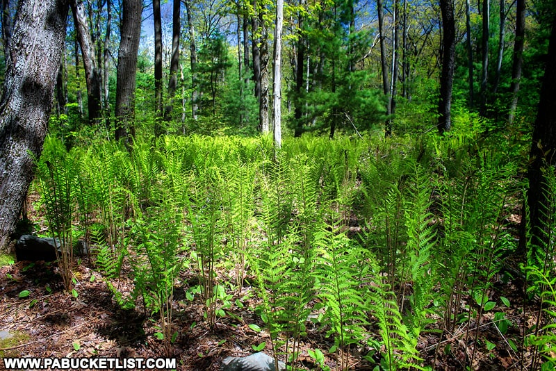 Ferns along the Wolf Rock Trail in Somerset County Pennsylvania