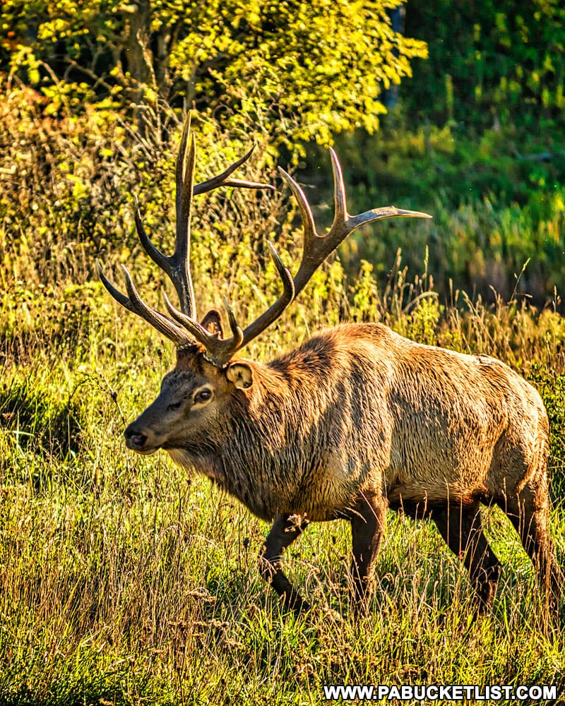 A member of the Benezette elk herd.