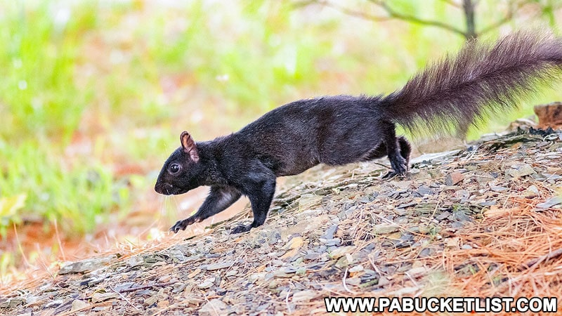 Black squirrel along Woodring Farm Trail in Elk County.