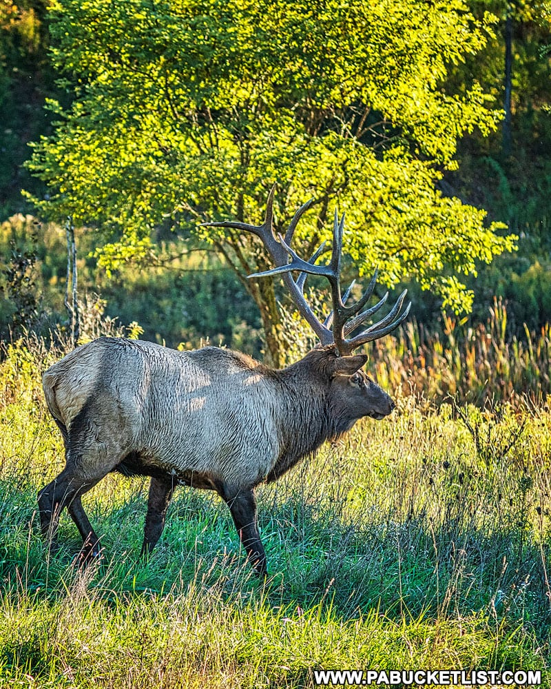 Fall foliage and big elk are why people flock to Benezette every October.