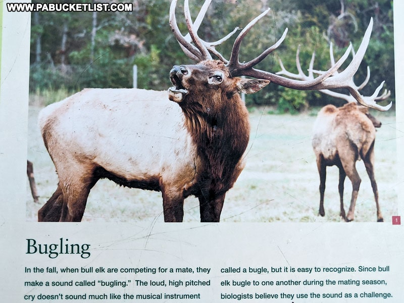 Why do elk bugle information.