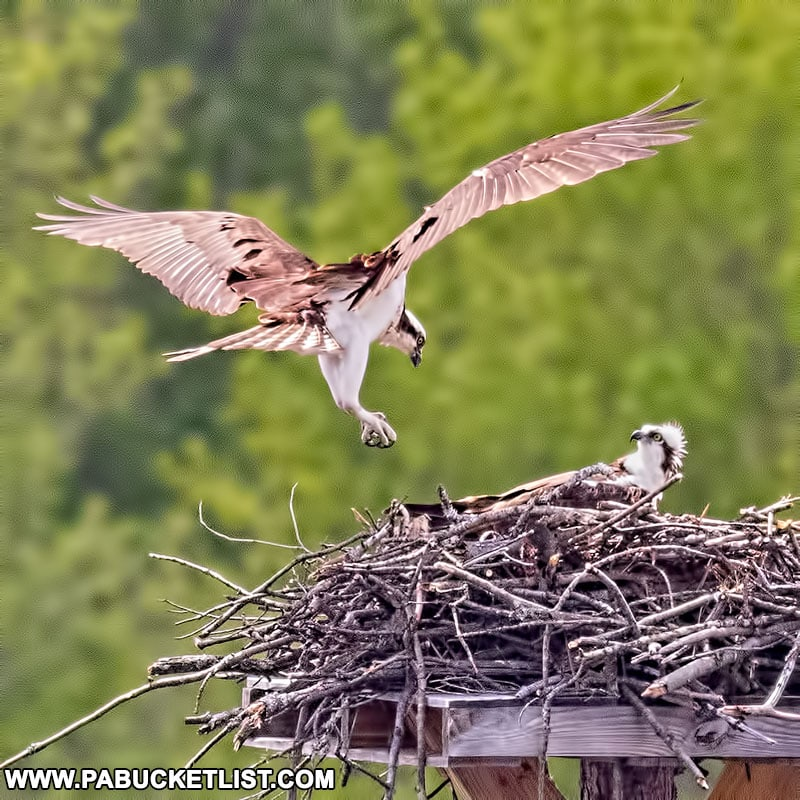 Nesting osprey pair at Beaver Run Dam in the Quehanna Wild Area.