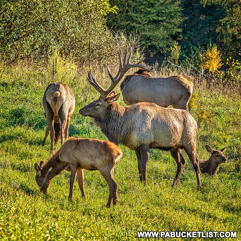 Elk herd at the Elk Country Visitor Center in Benezette.