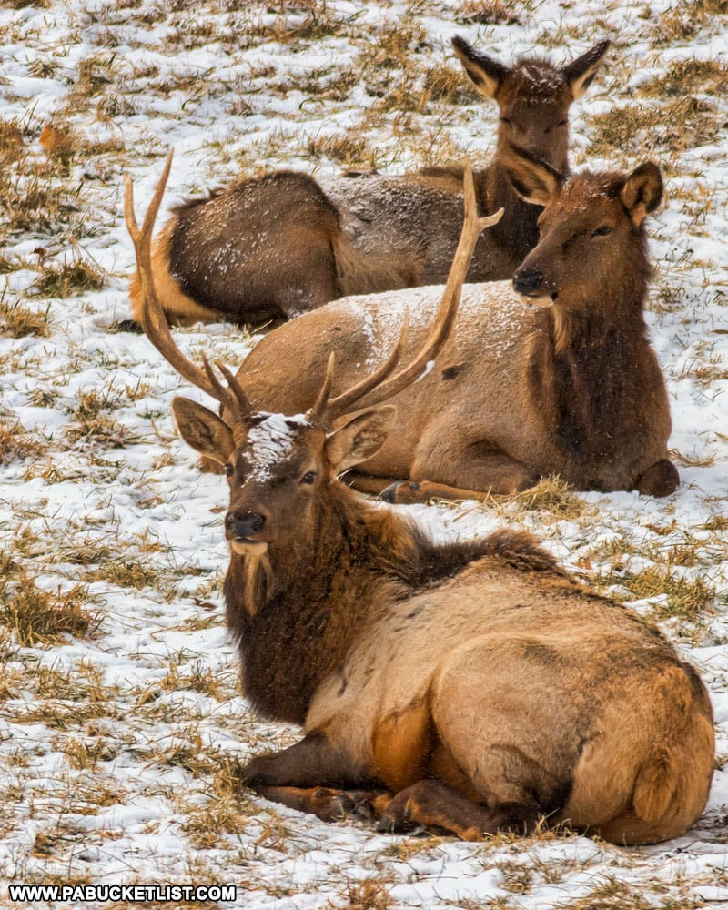 Elk bedded down on State Game Lands 100 in Centre County.