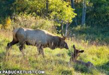 Elk on an autumn evening near Benezette.