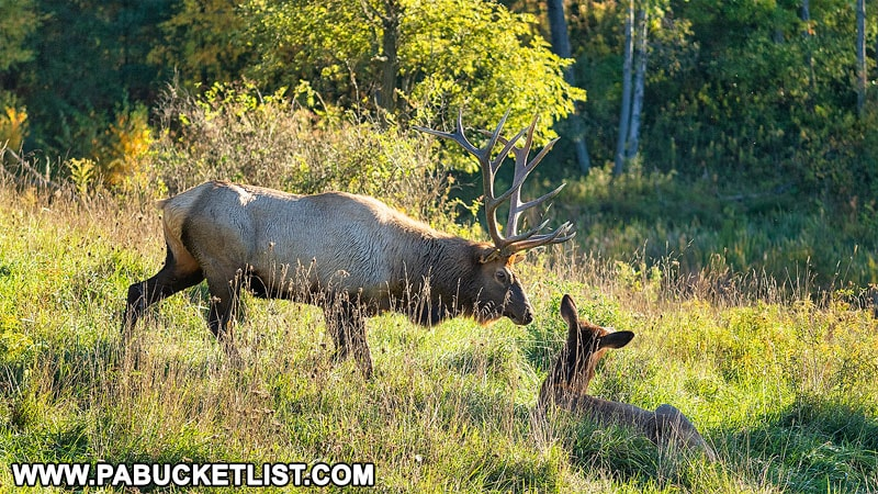 Elk on an autumn evening near Benezette.