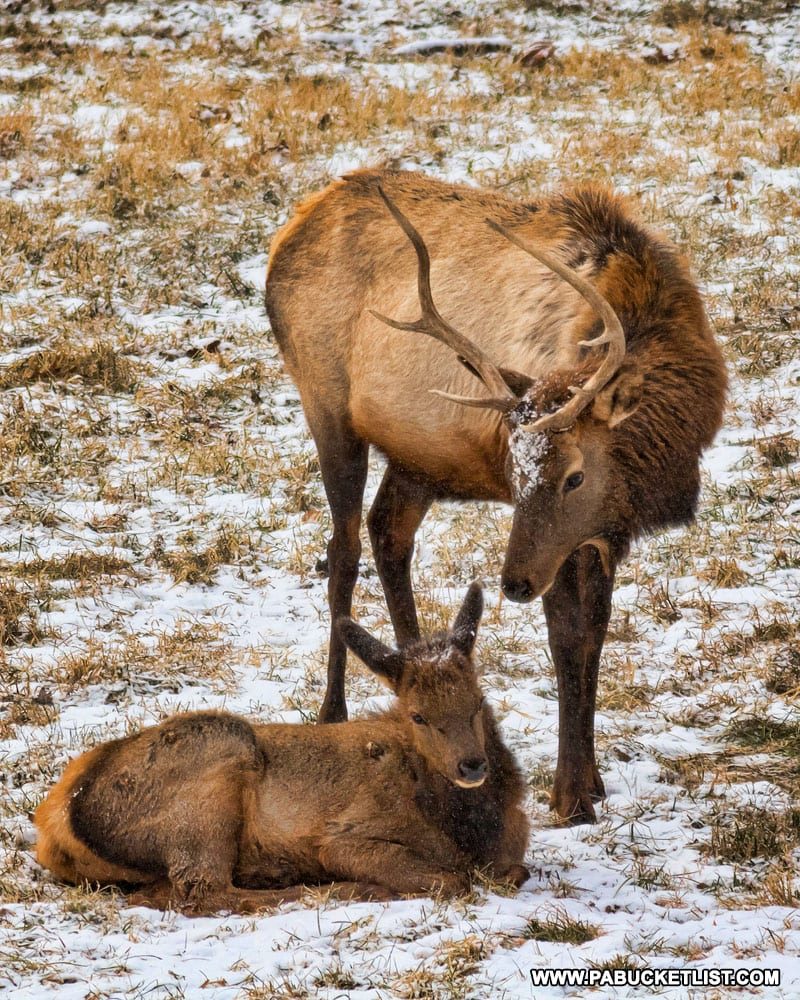 Elk in the Potter County section of Sinnemahoning State Park.