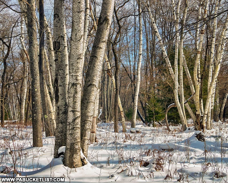 Winter scene at the Marion Brooks Natural Area in the Quehanna Wild Area.