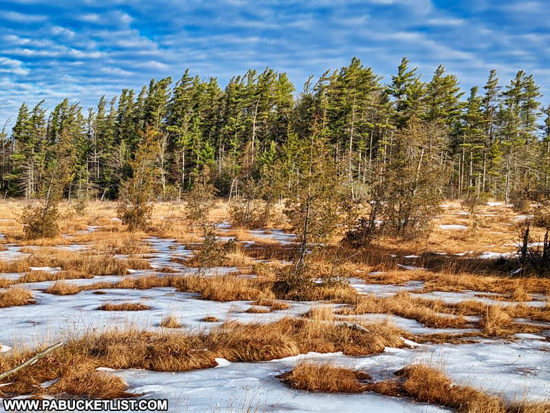 The windswept pines at Spruce Flats Bog in the Forbes State Forest.