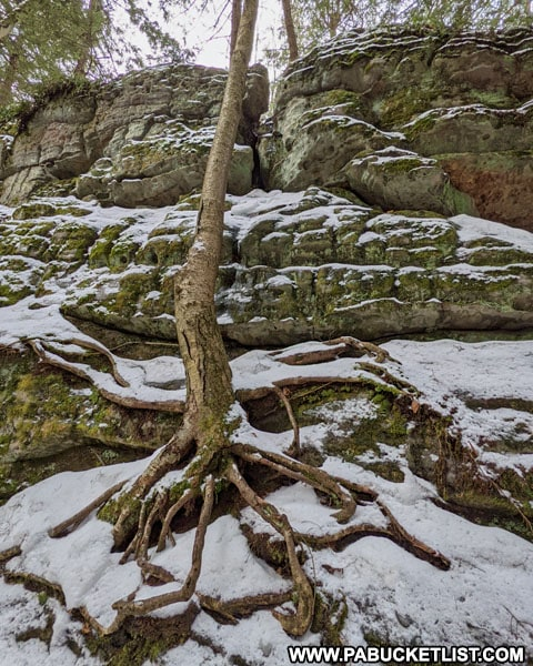 Exposed tree roots on a sandstone formation at BIlgers Rocks in Clearfield County.