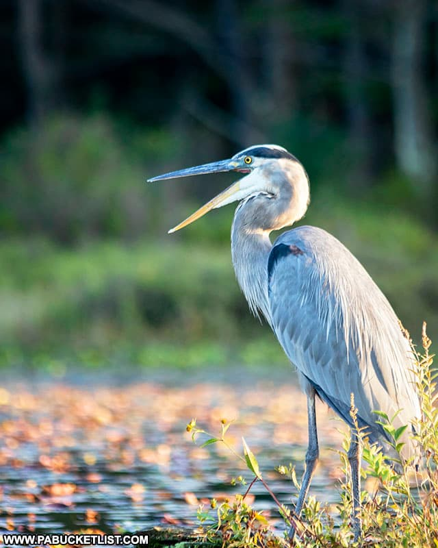 A great blue heron at Black Moshannon State Park.