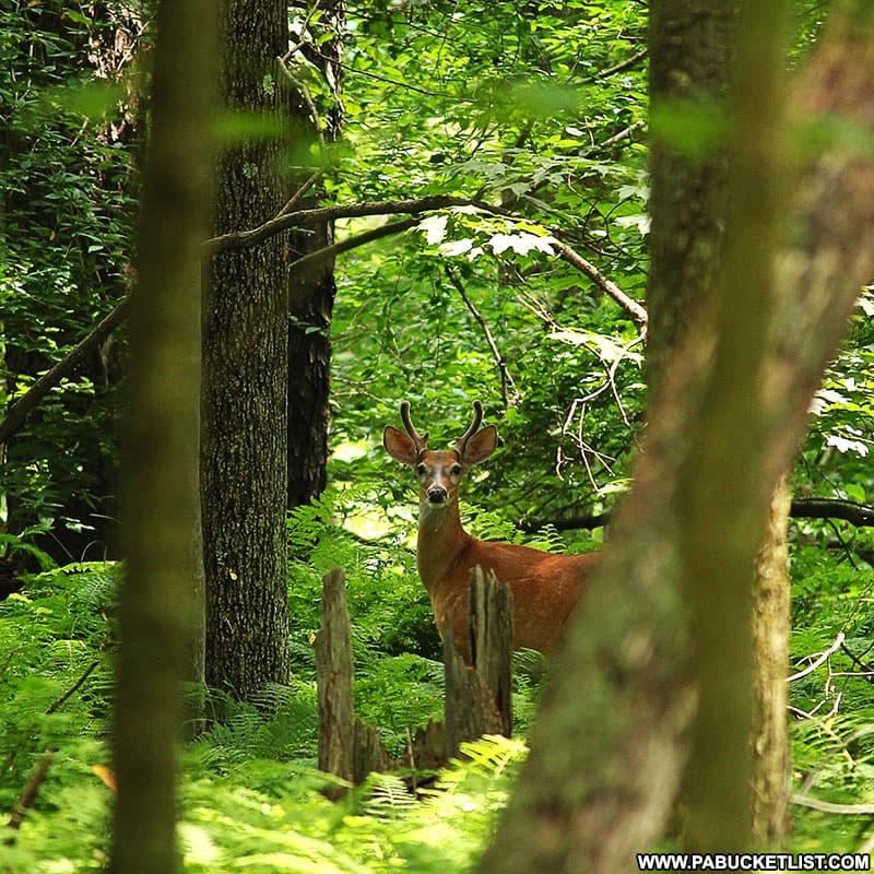 A small buck in velvet at Black Moshannon State Park.