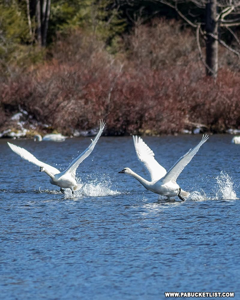 Tundra swans taking off from Black Moshannon Lake.