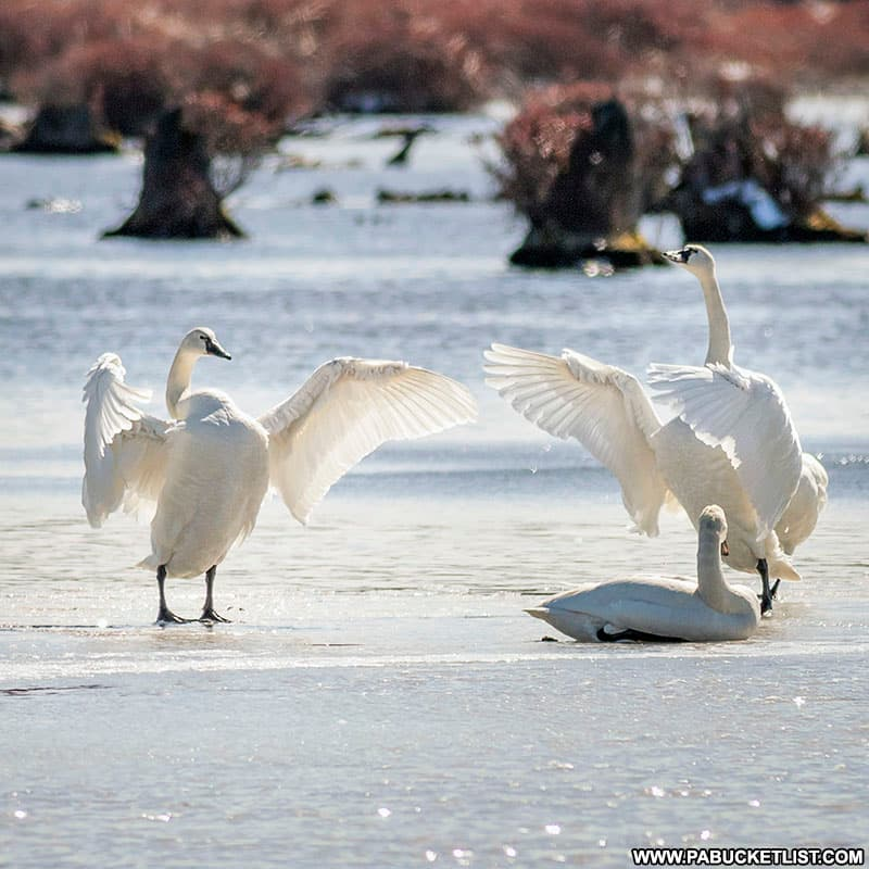Migrating tundra swans at Black Moshannon State Park.