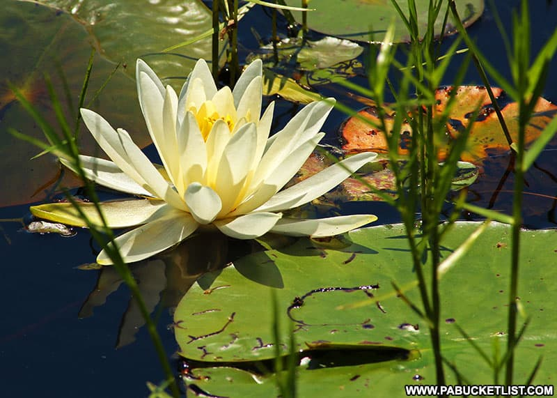A white lily on the lake at Black Moshannon State Park.