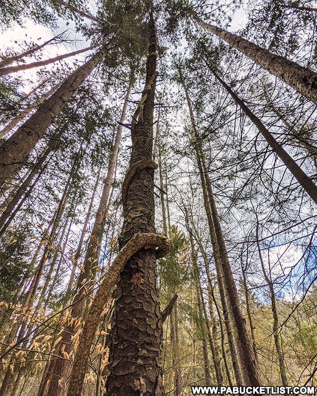 Tall pines along the Colyer Lake Loop Trail near State College Pennsylvania.