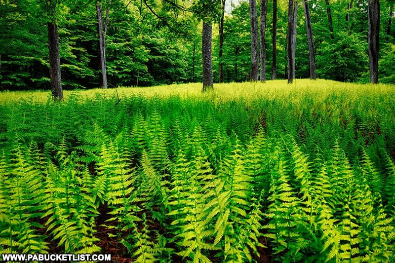 A sea of ferns near Thomas Run Falls in Bradford County Pennsylvania.