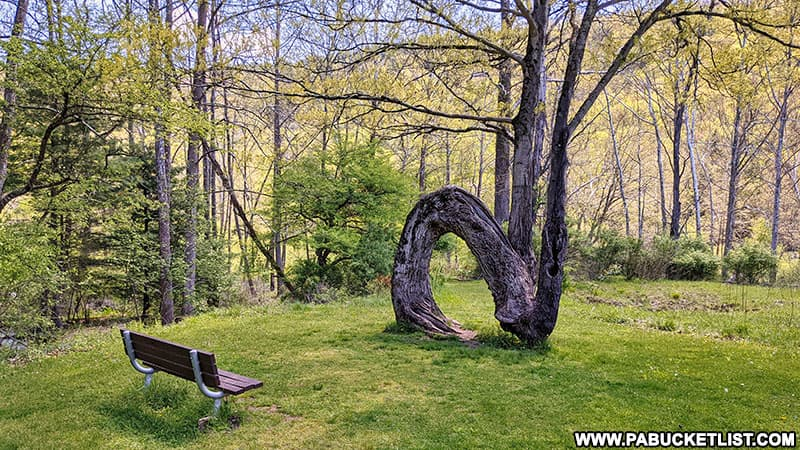 The Arch Tree at Sinnemahoning State Park.