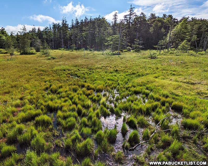 Spruce Flats Bog on a summer morning in the PA Laurel Highlands.