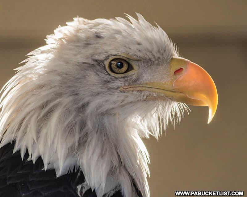 A resident bald eagle at Shaver's Creek Environmental Center.