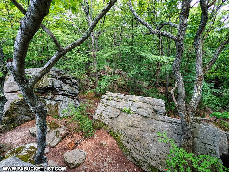 Trees growing up amongst the boulders at Beartown Rocks in the Clear Creek State Forest.