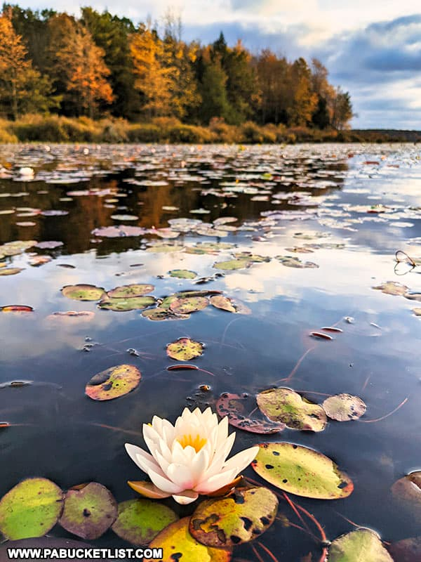 Water lily and fall foliage at Black Moshannon State Park.